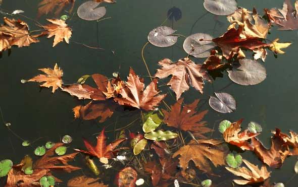 Chinar-leaf
