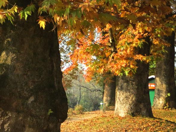 Chinar-tree