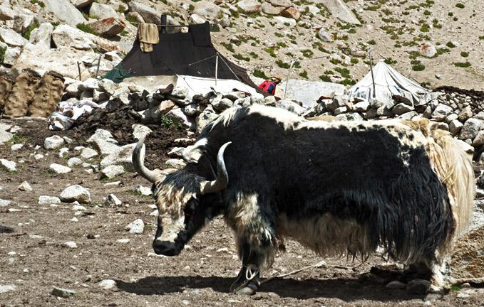 Laddakh-yak