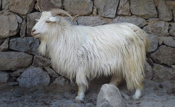Pashmina-goat