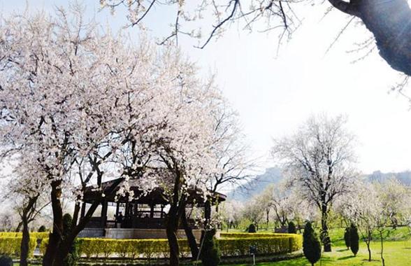 almond-garden-kashmir