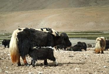 Changpa – The North People!