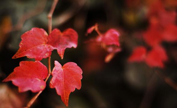 chinar-leaf-kashmir