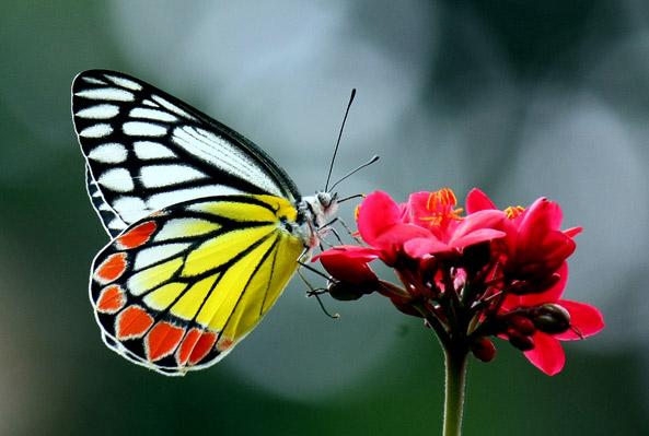 etikopakka-butterfly