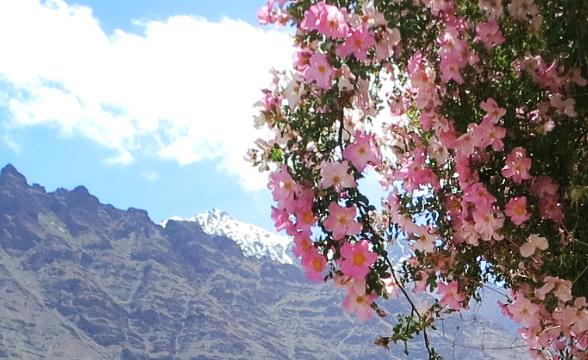 kashmiri-rose