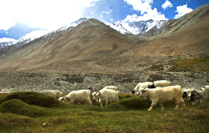 pashmina-goat-at-laddakh