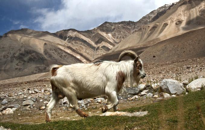 pashmina-goat-himaliya-laddakh