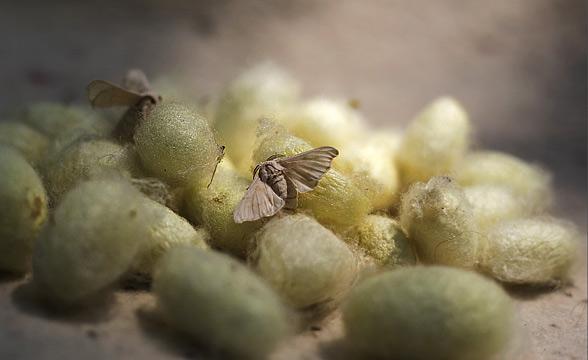 silk-larva-kashmir